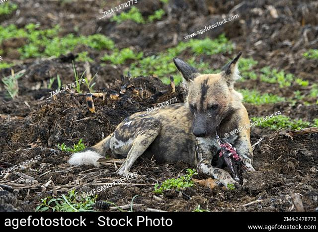 An African wild dog (Lycaon pictus), an endangered species, is feeding on an impala in the Jao concession, Wildlife, Okavango Delta in Botswana