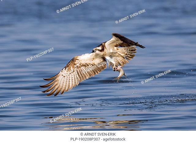 Western osprey (Pandion haliaetus) catching fish from lake with its talons