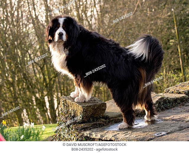 Bernese Mountain Dog portrait,UK