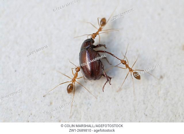 Trio of Fire Ants (Oecophylla sp. ) dragging away dead beetle, Klungkung, Bali, Indonesia