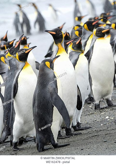King Penguin (Aptenodytes patagonicus) on the island of South Georgia, the rookery on Salisbury Plain in the Bay of Isles. Adults coming ashore