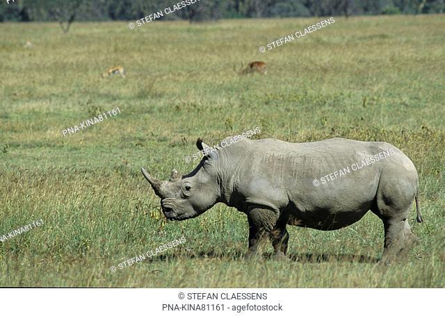 white Rhinoceros, Wide-mouthed Rhinoceros Ceratotherium simum - Nakuru National Park, Kenya, Africa