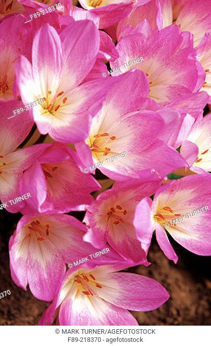 Meadow Saffron (Colchicum autumnale)