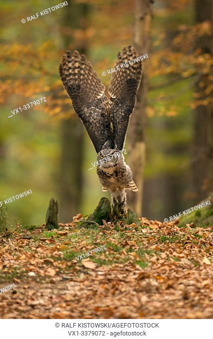 Great Horned Owl / Tiger Owl / Virginia-Uhu ( Bubo virginianus ) taking off for its hunting flight, stretched wings, autumnal coloured woods