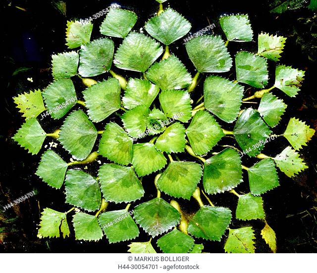 Water nut, Trapa Natans, water plant, Weiderichgewächse, Lythraceae, rosette, sheet rosette, swimming body, Blattspreite, Spreite, Trapa, flower plant