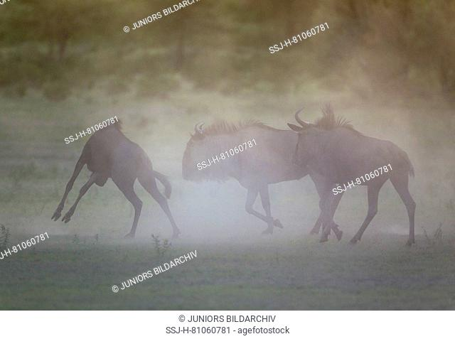 Blue Wildebeest (Connochaetes taurinus taurinus) having troubles at dawn. During the rainy season in green surroundings. Kalahari Desert