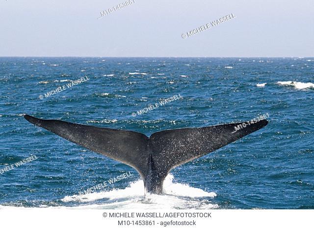 A Blue Whale tail fluke