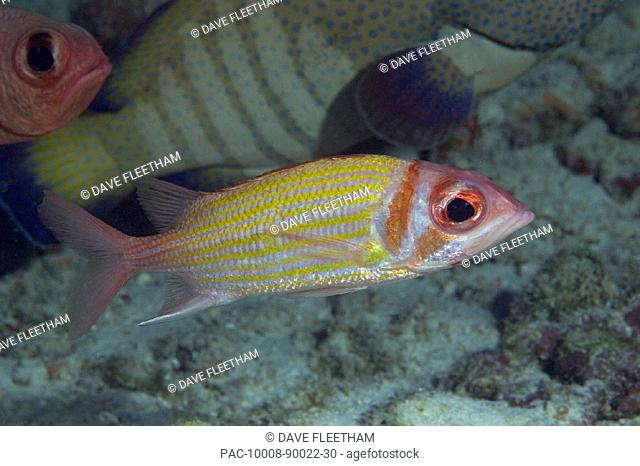 Hawaii, Goldlined squirrelfish (Neoniphon aurolineatus) at the edge of a school