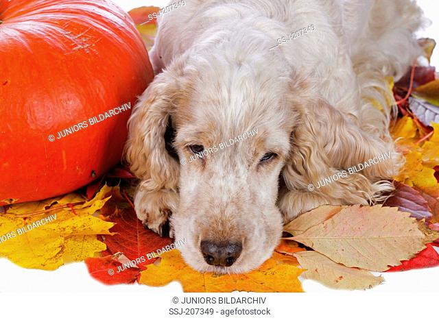 English Cocker Spaniel. Adult dog (orange roan) lying next to pumpkin on autum leaves. Germany