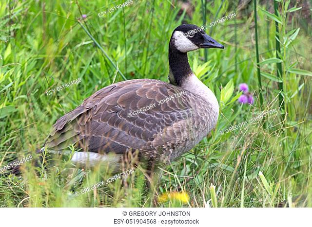 A canadian goose is in the grass at Turnbull wildlife refuge in Cheney, Washington