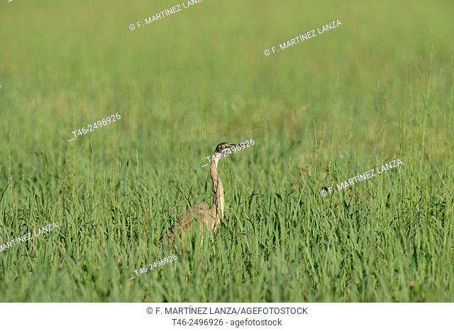 Heron Ardea purpurea. Southwest Regional Park. San Martin de la Vega. Madrid