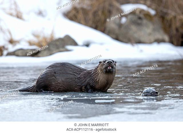 North American river otters, Lontra canadensis
