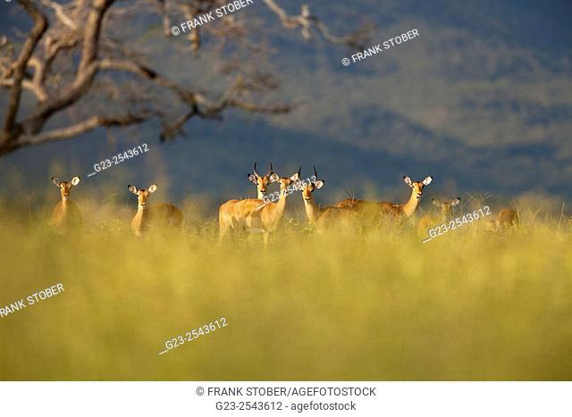 Impala group (Aepyceros melampus)