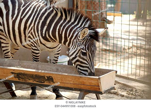 View of a stripped zebra living in cage in a natural park