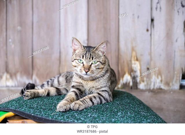 portrait; Cat laying on the Foot mat