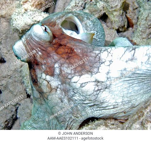 Caribbean Octopus, Bonaire