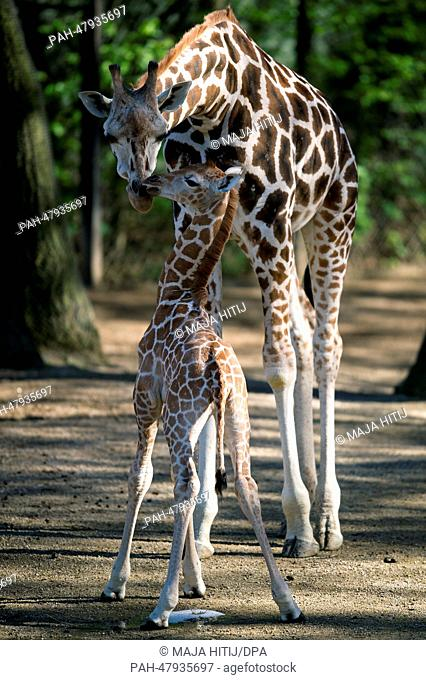 Mother Etosha stands next to its offspring Madiba in their enclosure at the zoo Hagenbeck in Hamburg, Germany, 16 April 2014