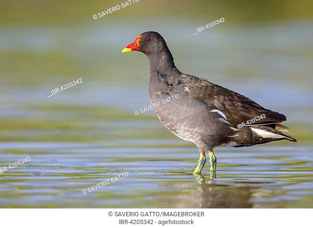 Common Moorhen (Gallinula chloropus), adult standing in the water, Campania, Italy