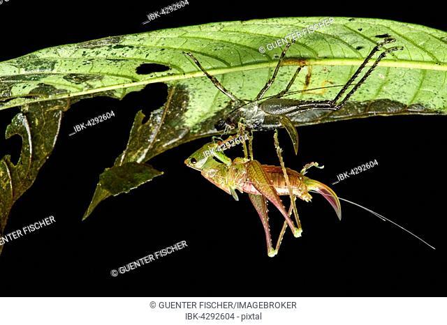 Eclosion, cricket (Ensifera), Andean cloud forest, Mindo, Ecuador