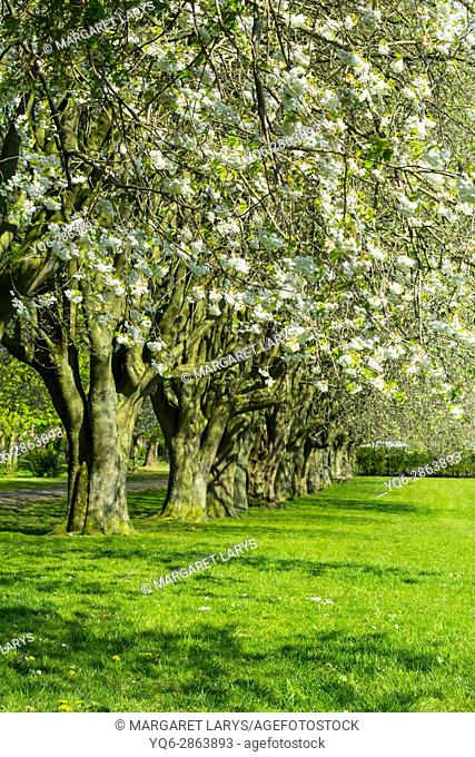 Dunbeth Park in Coatdyke, North Lanakrshire, Scotland, United Kingdom. Beautiful morning in the Spring, an alley of old, tall blooming trees in the morning...