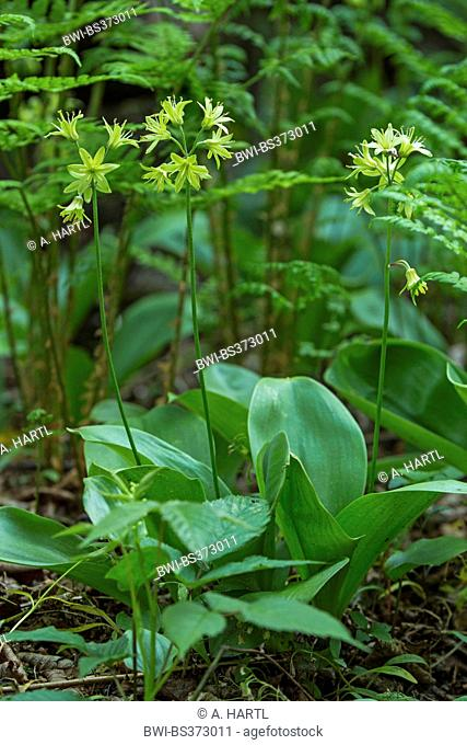 Clinton lily, Bluebead Lily (Clintonia borealis), blooming, USA, Tennessee, Great Smoky Mountains National Park