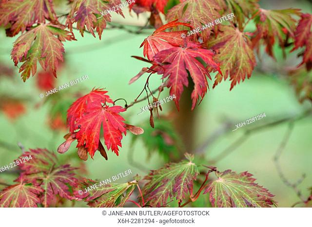 characteristic red maple leaves in Autumn
