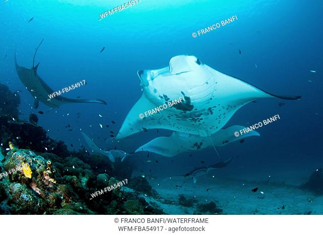 Manta over Cleaning Station, Manta alfredi, Raja Ampat, West Papua, Indonesia