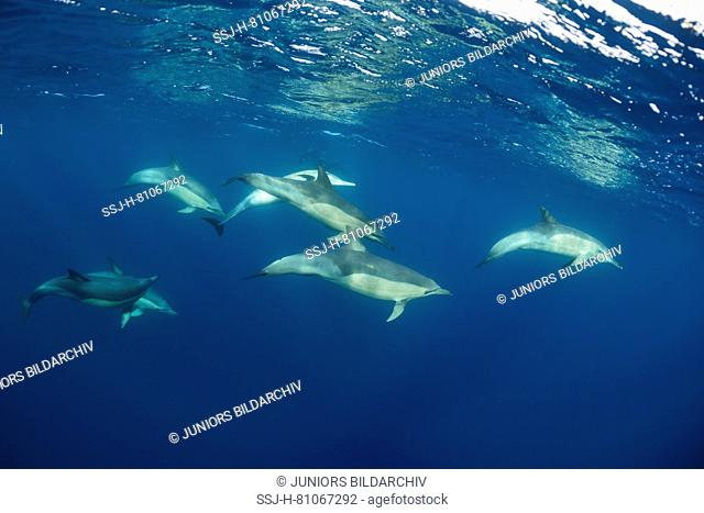 Long-beaked Common Dolphin (Delphinus capensis). Group swimming under water. Algoa Bay, Porth Elizabeth, South Africa