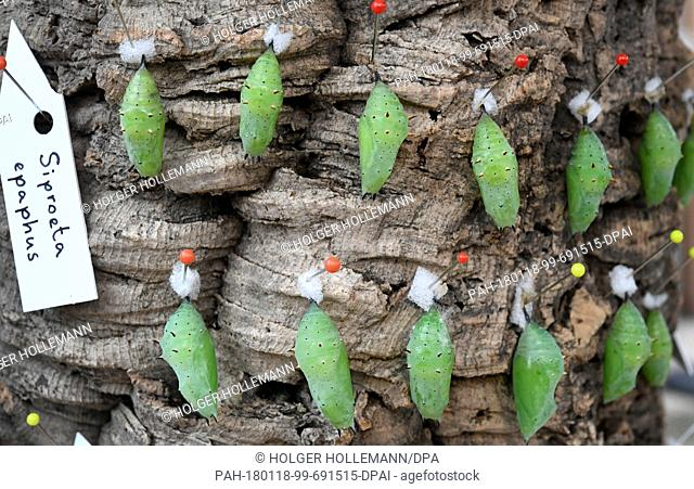 Cocoons of the genus Siproeta epaphus hang from a tree bark at the Tropenschauhaus of the Herrenahausen Gardens in Hanover, Germany, 16 January 2018