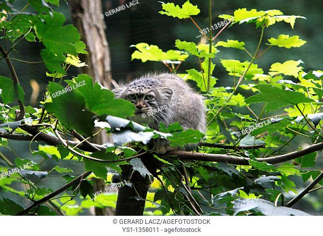 MANUL OR PALLAS'S CAT otocolobus manul, ADULT STANDING ON BRANCH