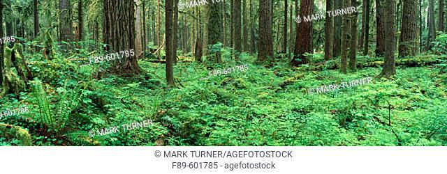 Large old-growth Douglas-firs (Pseudotsuga menziesii) in rainforest. Olympic NP. Washington. USA