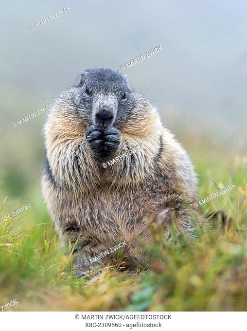 Alpine Marmot (Marmota marmota) in the NP Hohe Tauern near Mount Grossglockner. Europe, Central Europe, Austria, September
