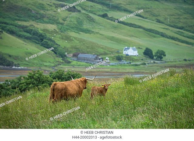 Scotland, Hebrides archipelago, Isle of Skye, Bos taurus, Highland cattle