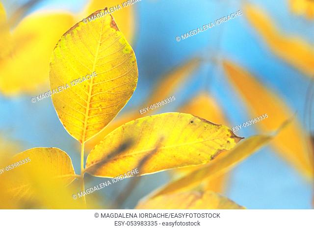 Bright Yellow Walnut Leaves Against Clear Blue Sky