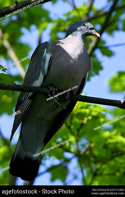 28 April 2020, Berlin: A wood pigeon sitting on a branch on a maple tree in the sunlight. It is the largest pigeon species in Central Europe and can be...