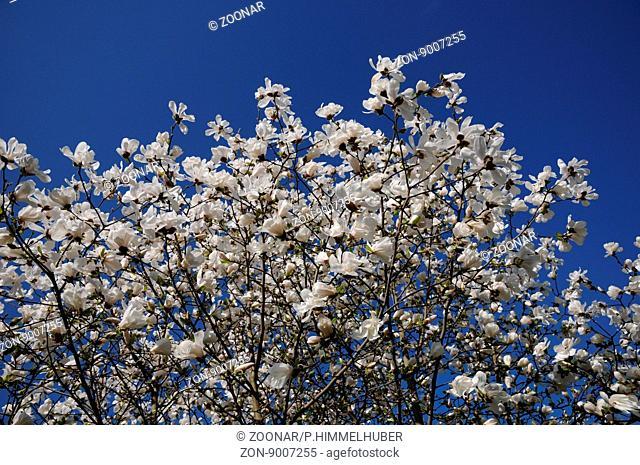 Magnolia x loebneri, Loebners Magnolie
