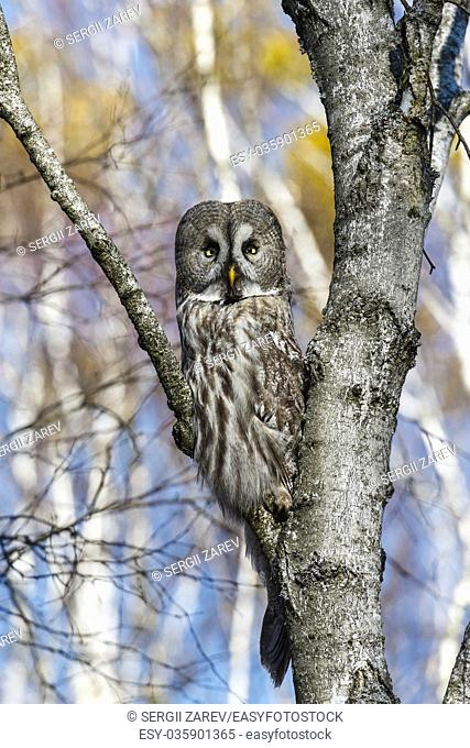 Great Gray Owl sitting on a tree in a spring forest