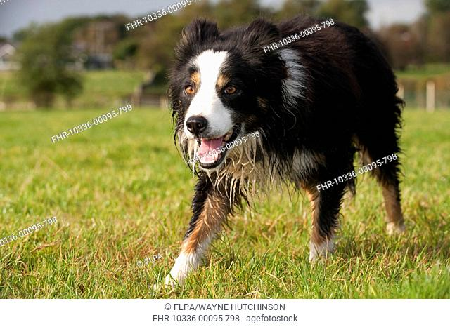 Domestic Dog, Border Collie, working sheepdog, adult, watching sheep in pasture, England, October