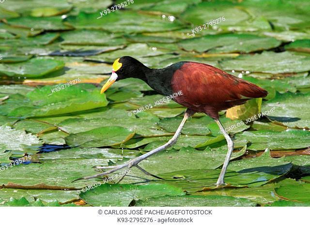 Jacana spinosa, Jacana Centroamericana en una laguna del Parque Nacional de Palo Verde, Costa Rica