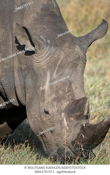 Close-up of one of the last three surviving northern white rhinoceros or northern square-lipped rhinoceros (Ceratotherium simum cottoni) in the world which are...