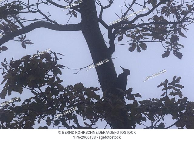Black woodpecker (Dryocopus martius), adult climbing up tree in fog, Mattheiser forest, Trier, Rhineland-Palatinate, Germany
