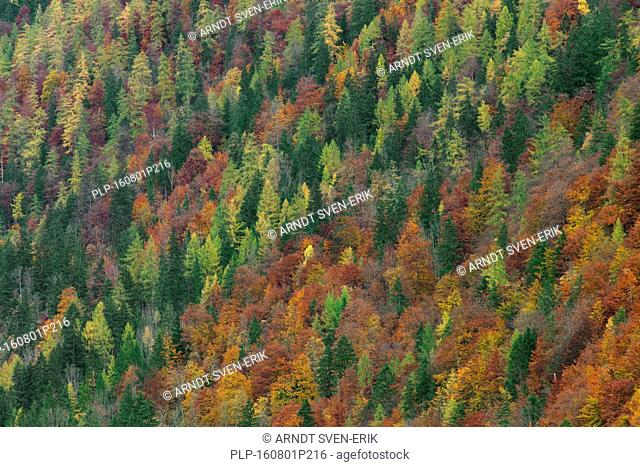 Mixed forest showing foliage of deciduous trees in colourful autumn colours