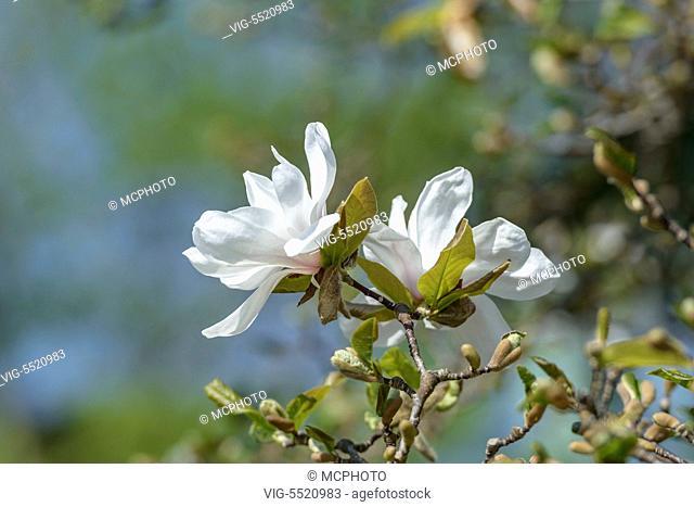 DEUTSCHLAND, STUTTGART, 28.03.2014, Löbners Magnolie (Magnolia ÿ loebneri 'Merrill') - Stuttgart,Germany, 28/03/2014