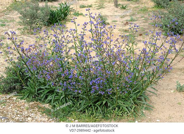 Lengua de buey (Anchusa calcrea) is a biennial or perennial Boraginaceae family plant. This photo was taken in Coto de Donana National Park, Huelva, Andalucia