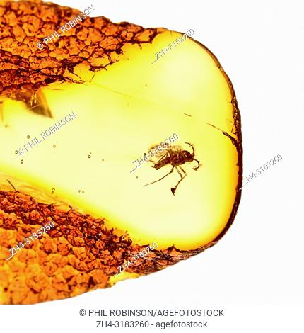 Prehistoric fly in Baltic amber