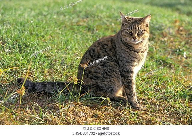 Housecat,Silvestris domestic spec,Florida,USA,adult