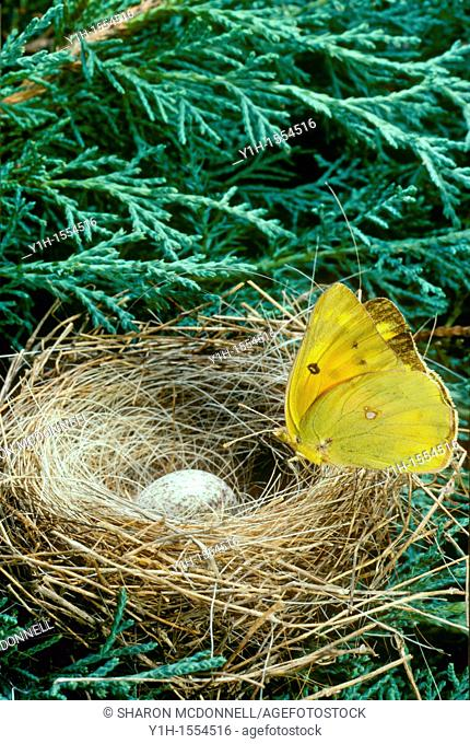 Sulfur butterfly lands on a blue grosbeak nest with a cowbird egg in it, Midwest USA