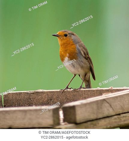 A Robin on a bird table (Erithacus rubecula) in the uk