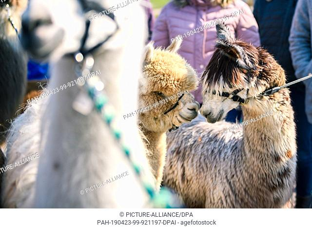"""14 April 2019, Lower Saxony, Drantum: Two alpacas touch each other with their muzzles during a walk. On their farm """"""""Herzog-Alpakas"""""""" a family offers photo..."""