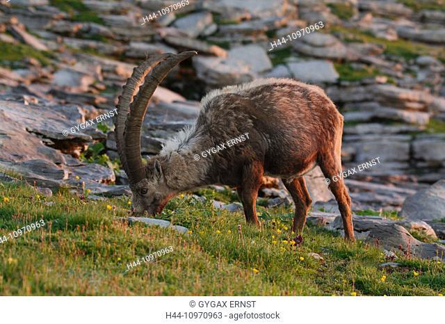 Switzerland, Churfirsten, mammal, alpine, animal, Artiodactyl, ruminat, Capricorn, Capra ibex, beak, goatish, alps, Sunrise